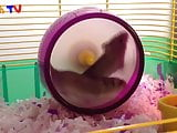 first hamster vid